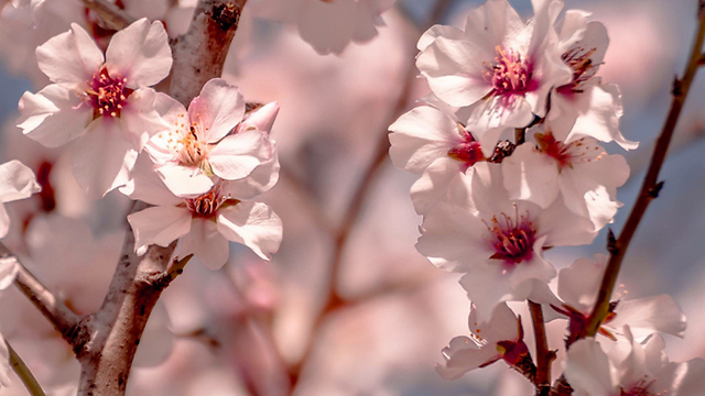 Almond trees blossom (Photo: Shoshi Friedman)