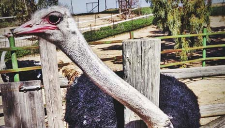 На юге Израиля можно покормить страусов и погладить страусиные яйца
