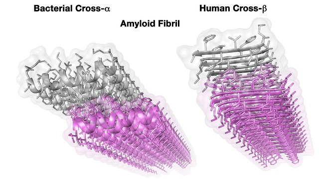 5.מבנה גבישי של סיב עמילואידי ממקור אנושי (מימין) ושל סיב העמילואיד בחיידק שהתגלה כעת (משמאל (החיידק הזהוב טכניון)