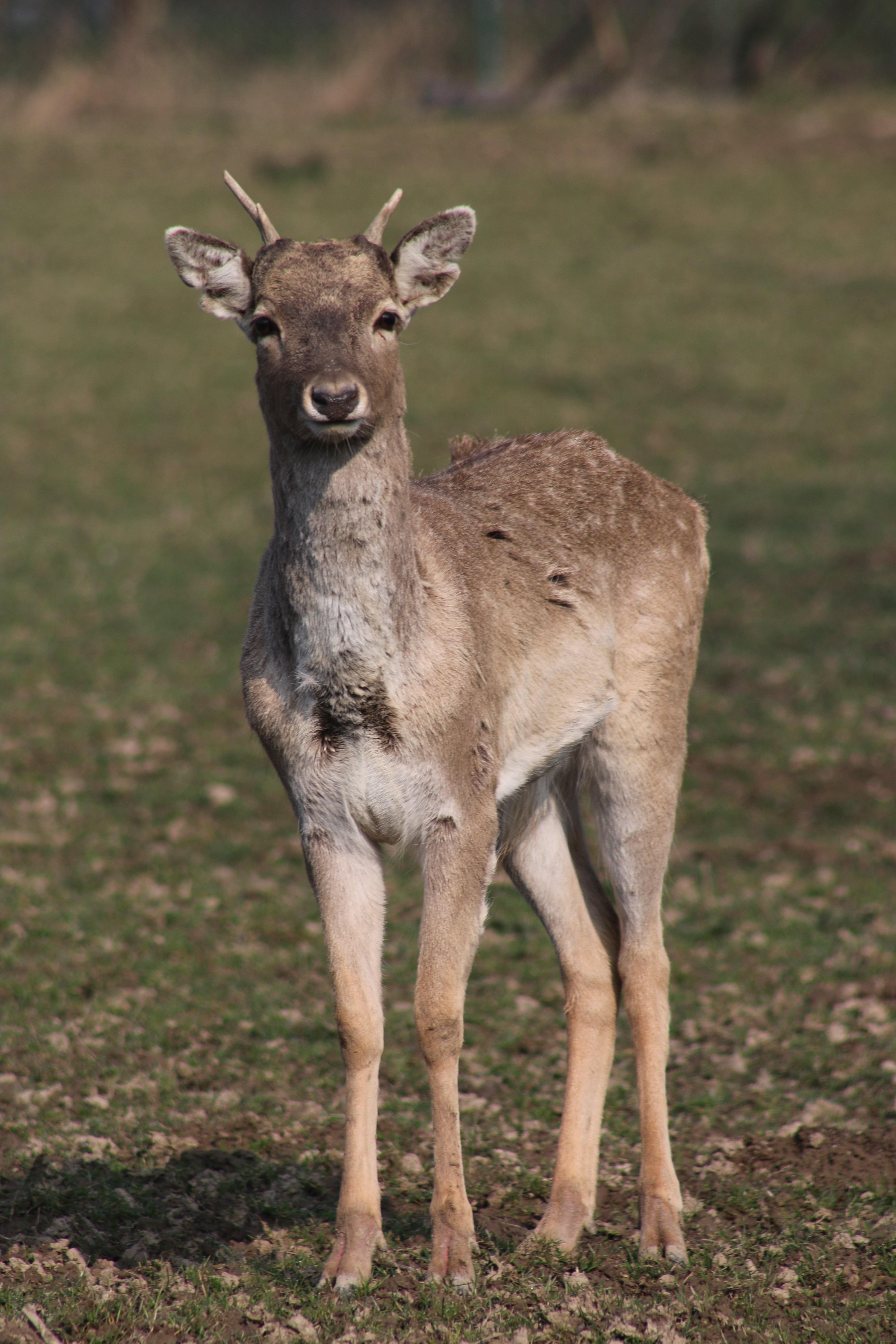 """יחמור בגן החיות """"אופל"""" בגרמניה (צילום: Opel Zoo)"""