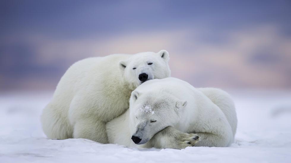 לא כדאי להעיר אותם. דובי קוטב (צילום: shutterstock)