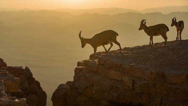 יעלים במצפה רמון  (צילום: אורטל צבר) (צילום: אורטל צבר)