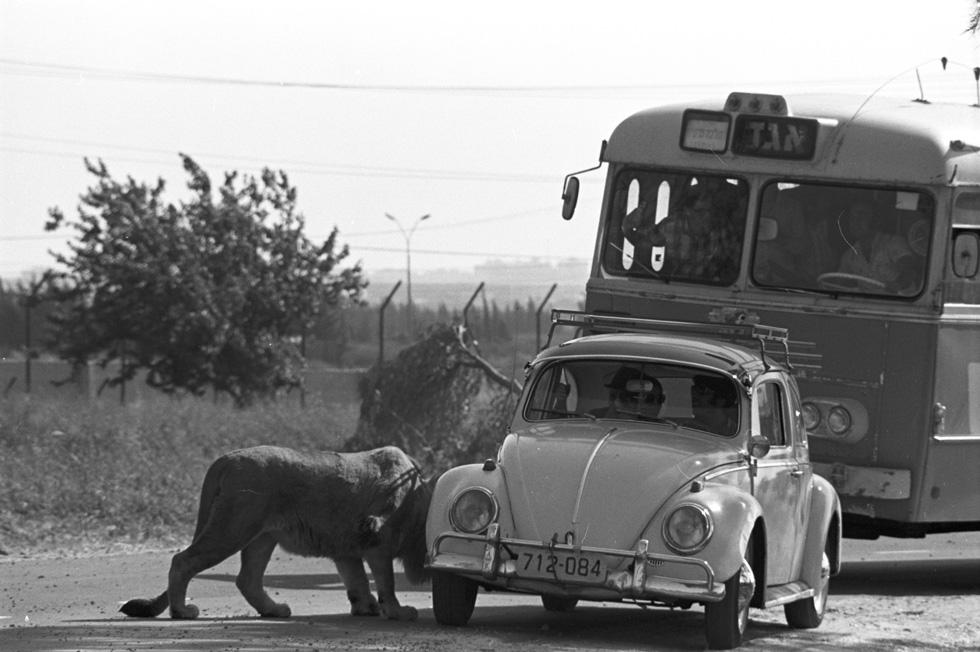 חיפושית פגשה אריה: הספארי ברמת גן, 1974. אוטובוס מטיילים מביט מאחור (צילום: דוד רובינגר)