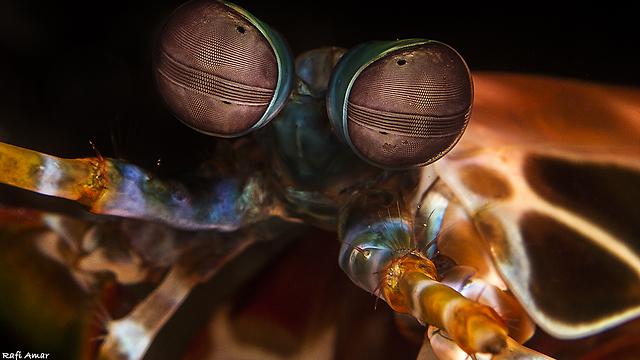 חסילון גמל שלמה טווסי (צילום: רפי עמר) (צילום: רפי עמר)
