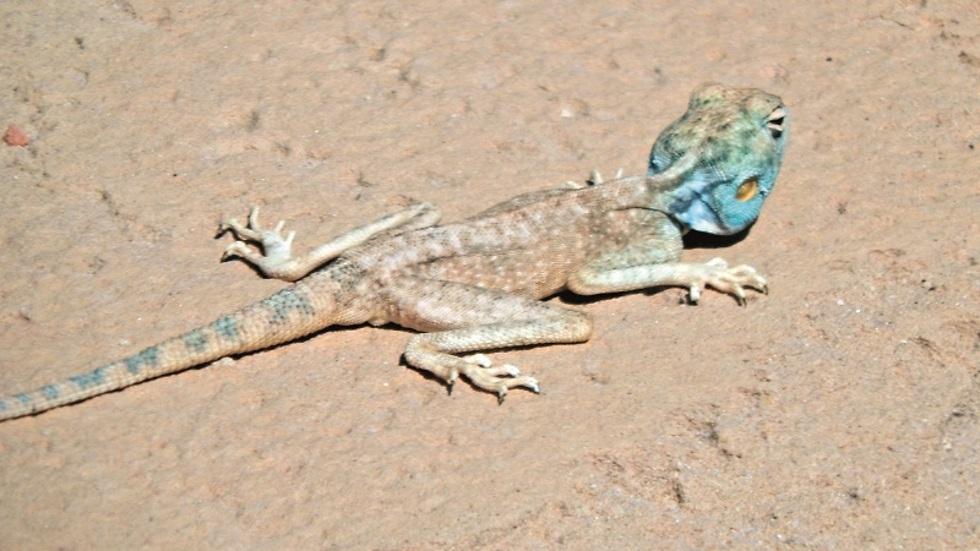חפשו היטב, יש חיים במדבר. חרדון-צב תכול ראש (צילום: צביקה בורג)