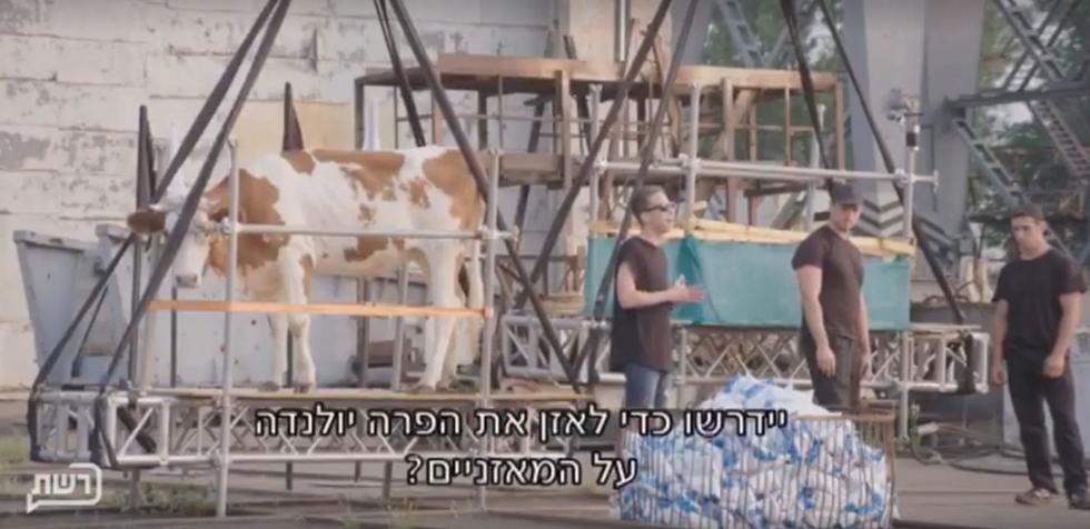 """שקילת הפרה יולנדה עם מאות שקיות חלב בתוכנית """"הטוב מכולם"""" (צילום מסך)"""