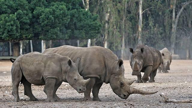 """Носороги. Фото: """"Сафари"""" Рамат-Ган"""