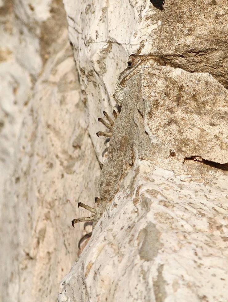 חרדון מצוי במדבר יהודה (צילום: דודי יפרח)