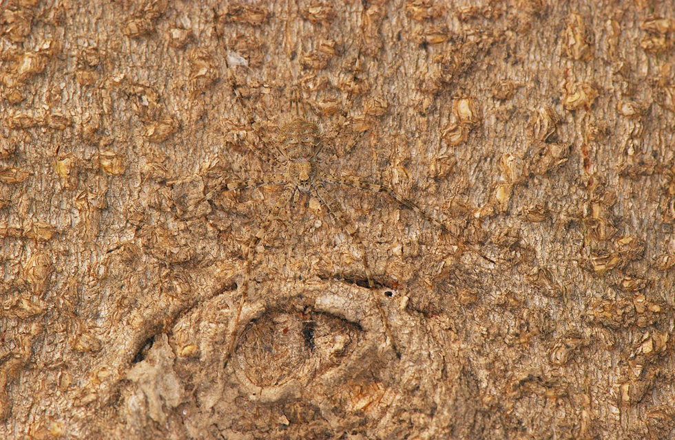 עכביש פטמתן ברמת הגולן (צילום: קרן לוי)