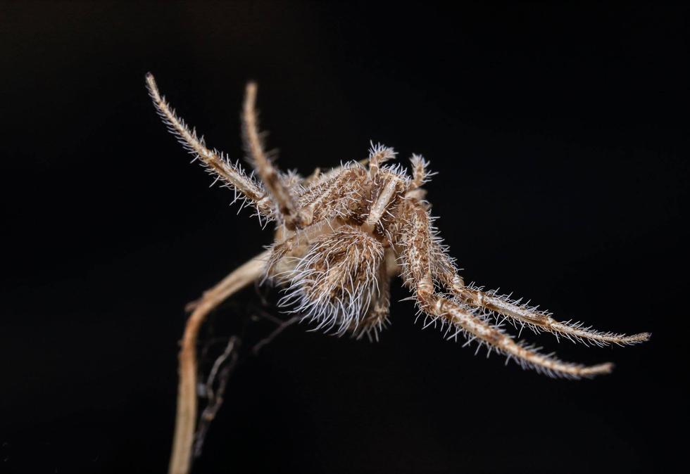 עכביש שעירון מתחזה לדרדר באזור השרון (צילום: מרב טפירו)