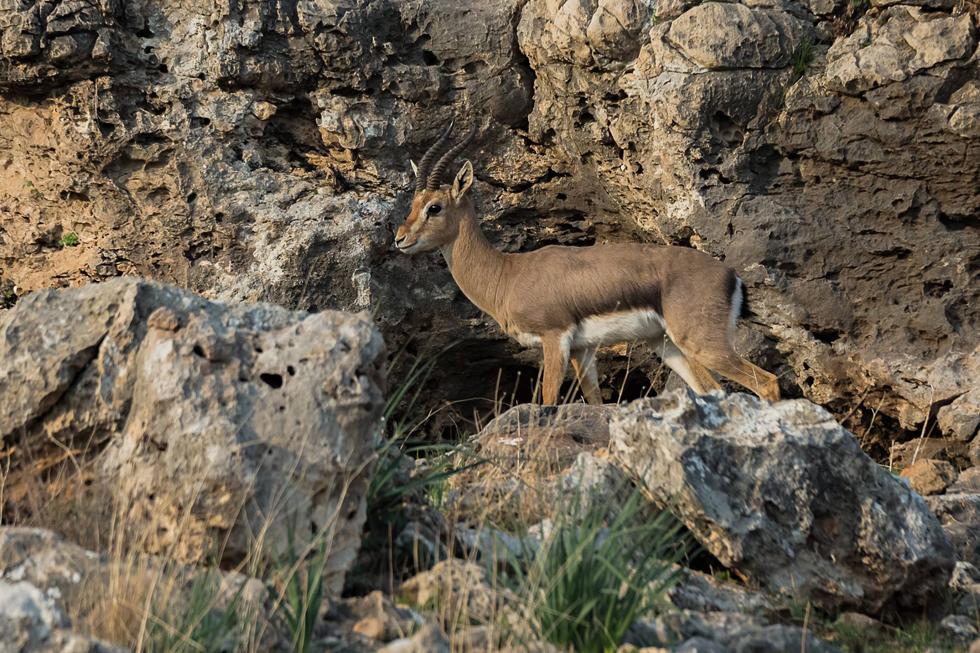 צבי ארץ ישראלי בצפון (צילום: שלומי דוד)