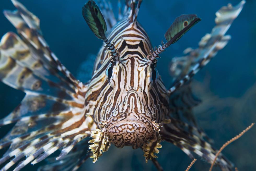 לא מנסים להסוות עצמם, כי הם באמת צורבים ומסוכנים. דג זהרון  (צילום: shutterstock)
