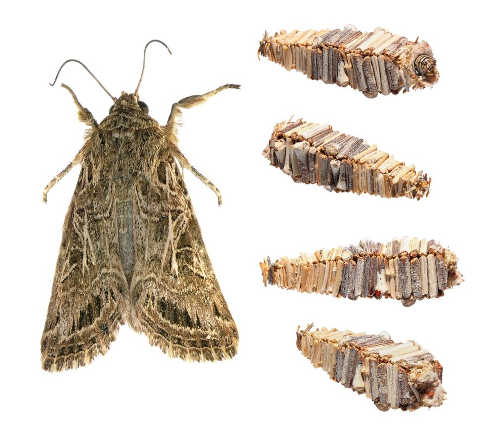 הזחלים יכולים לבלות את רוב חייהם בתוך המסתור שהם נושאים עמם לכל מקום. זחל של ססתיק  (צילום: shutterstock)