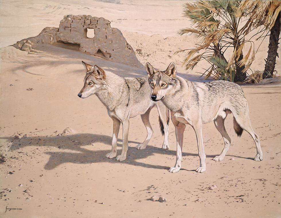 זאבים אפורים בנופי המדבר (איור: וולטר פרגסון)