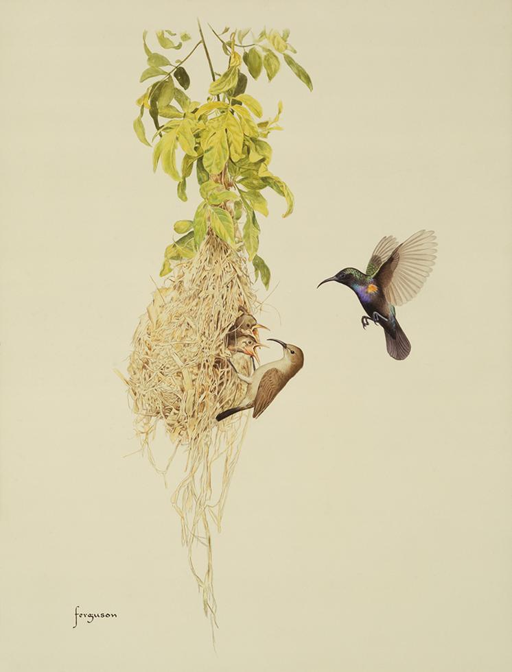 צופיות בוהקות - זכר ונקבה מאכילים גוזלים בקן (איור: וולטר פרגסון)