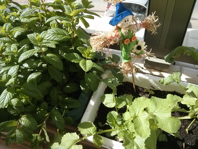 עלי נענע וצנונית במרפסת. כשרואים את זה גדל - זה יותר טעים (צילום: נועה דורון דוידסון)