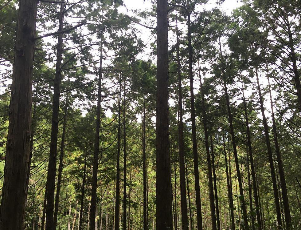 """העצים הדקיקים, הארוכים והבלתי נגמרים ב""""קומאנו קודו"""" שבהונגו (צילום: שירי הדר)"""