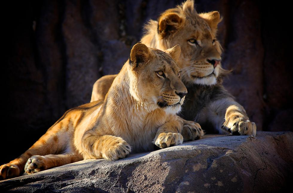אריות, לא מראה נדיר בטנזניה  (צילום: shutterstock) (צילום: shutterstock)