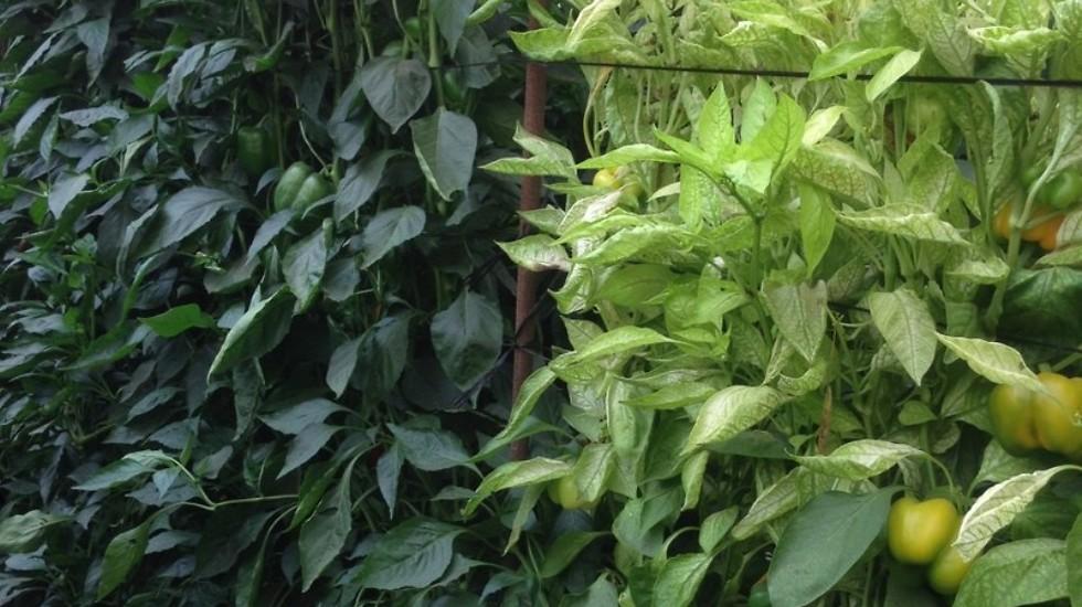 """יזיר – """"צמח היזיר מתבלט בחלקת ניסוי נגועה בנמטודות""""  (צילום: זרעים-גדרה) (צילום: זרעים-גדרה)"""