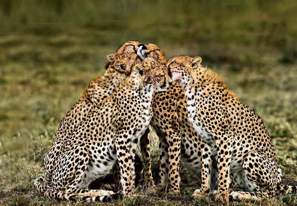 הצ'יטות של שמורת הסרנגטי באפריקה (צילום: רועי גליץ)