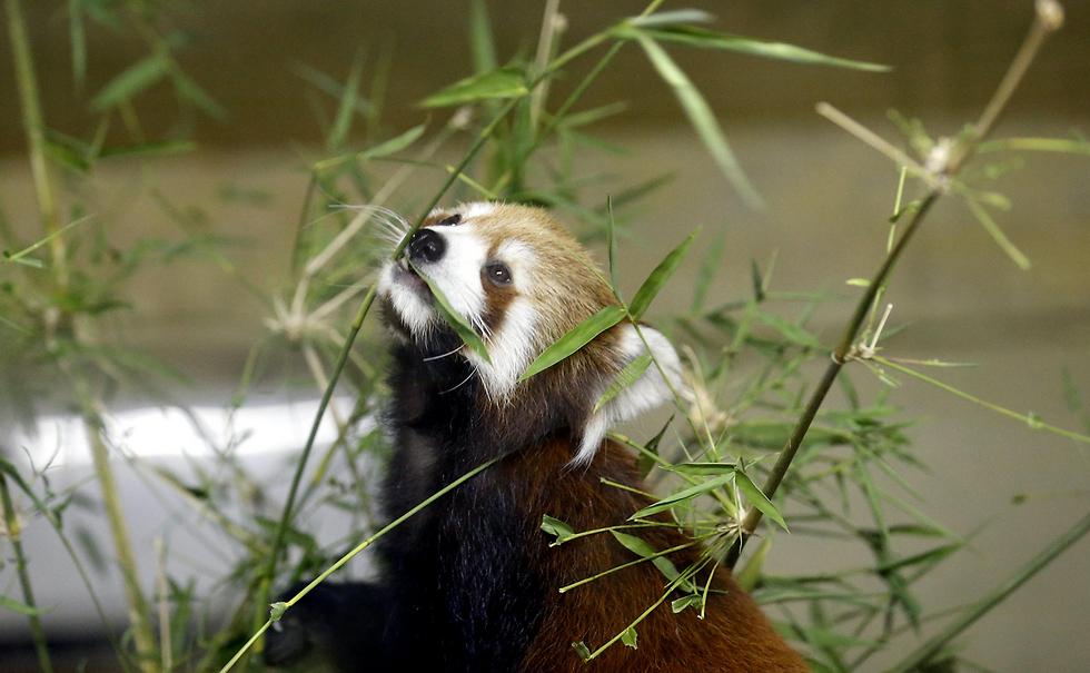 דוב פנדה אדום אוכל עלי חזרן בגן החיות הזיאולוגי בנייפידאו, בירת מיאנמר (צילום: EPA)