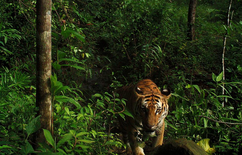 טיגריסית קולטת את מצלמת איש הטבע והפארקים של תאילנד ביער במזרח המדינה (צילום: רויטרס)