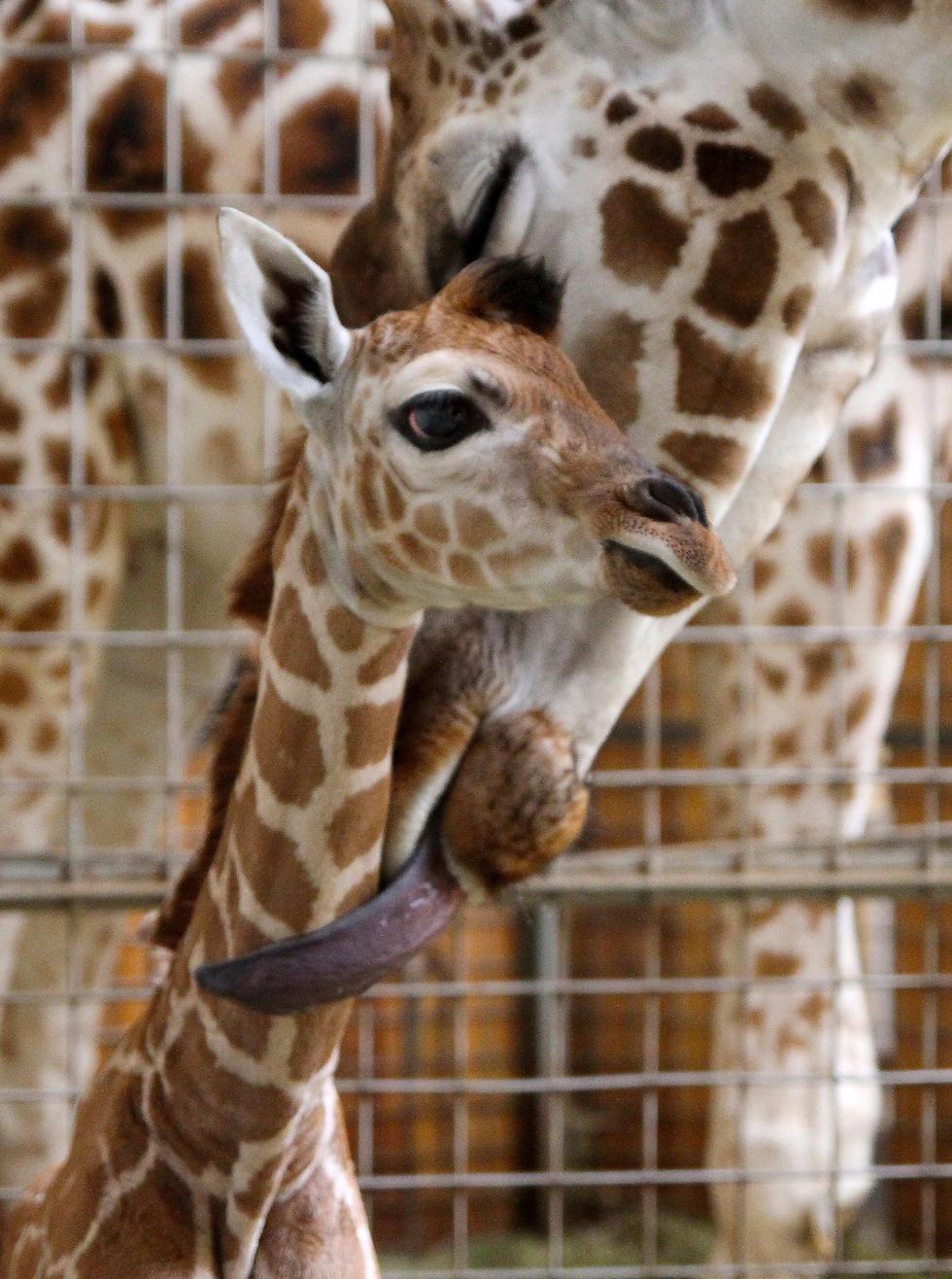 ג'ירף שזה עתה נולד עם אמו בגן חיות באופולה, פולין (צילום: EPA)