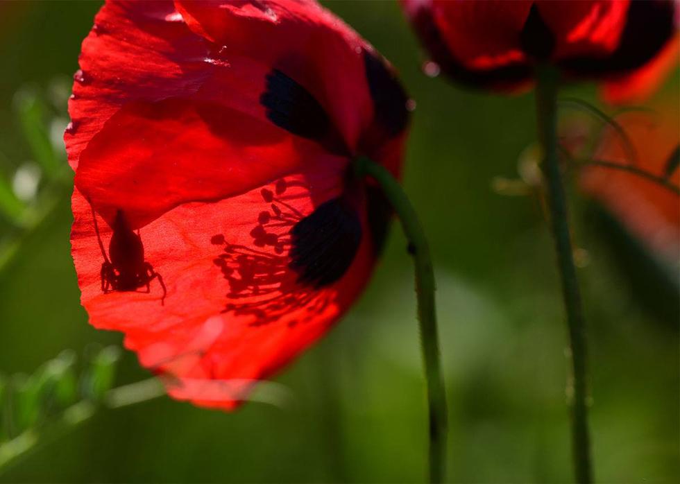 צללית חגב בפרח פרג במרכז (צילום: יוכי לבנון)