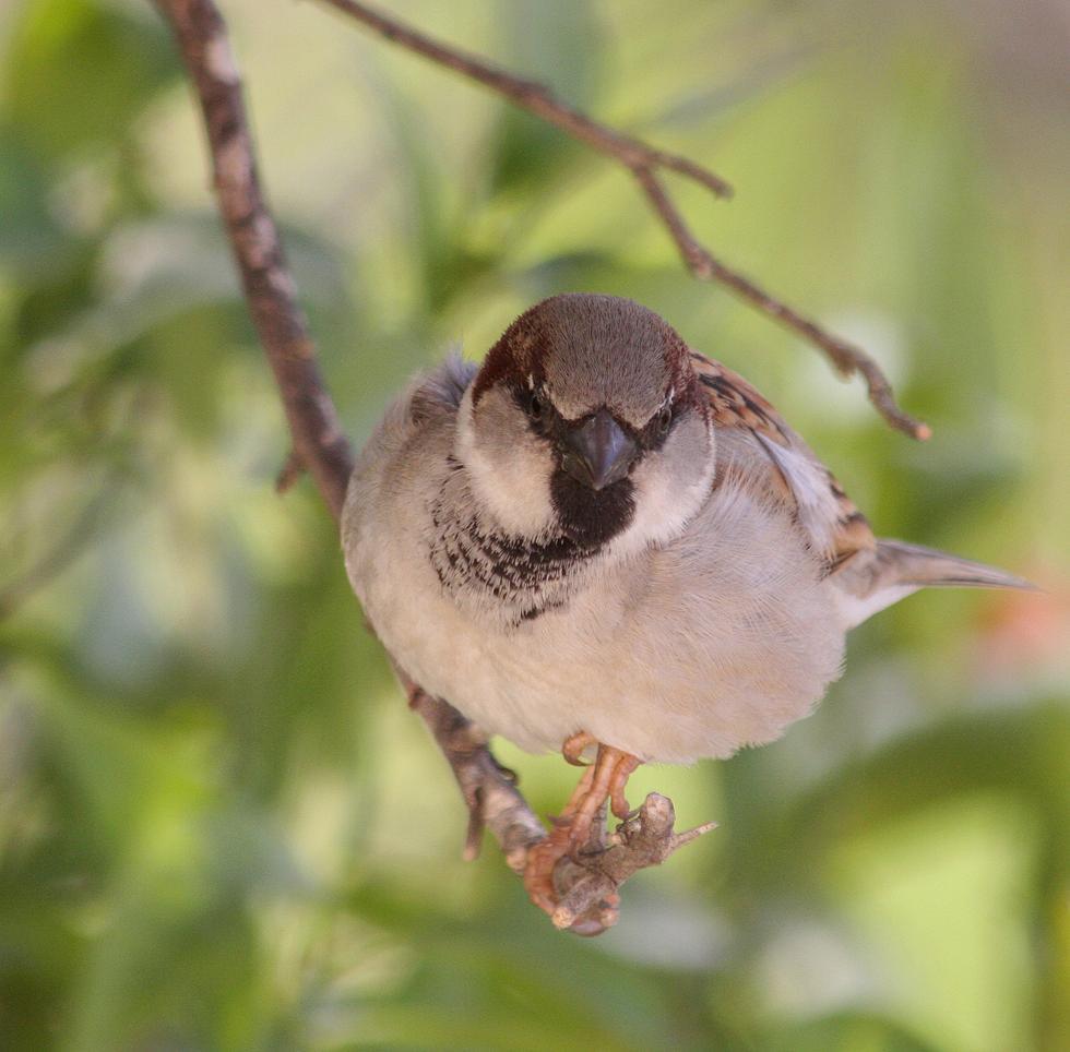 דרור בית זכר צעיר על ענף (צילום: חיים מויאל)