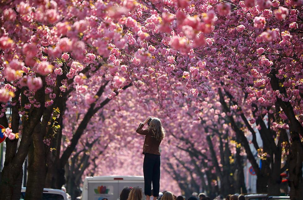 תיירת מצלמת את פריחת עץ הדובדבן בבון, גרמניה (צילום: רויטרס)
