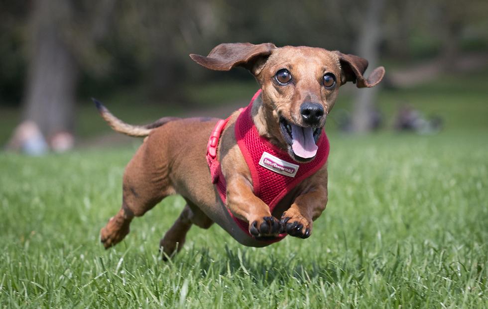 הכלבה סקאמפי רודפת אחרי כדור במהלך כינוס של מועדון כלבים ובעליהם בפארק ויקטוריה בלונדון (צילום: gettyimages)