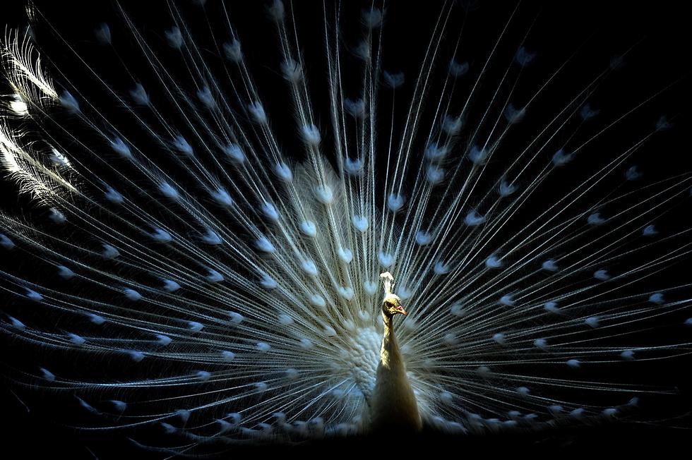 טווס מפגין את נוצותיו בגן החיות בטביליסי, בירת גיאורגיה (צילום: AFP)