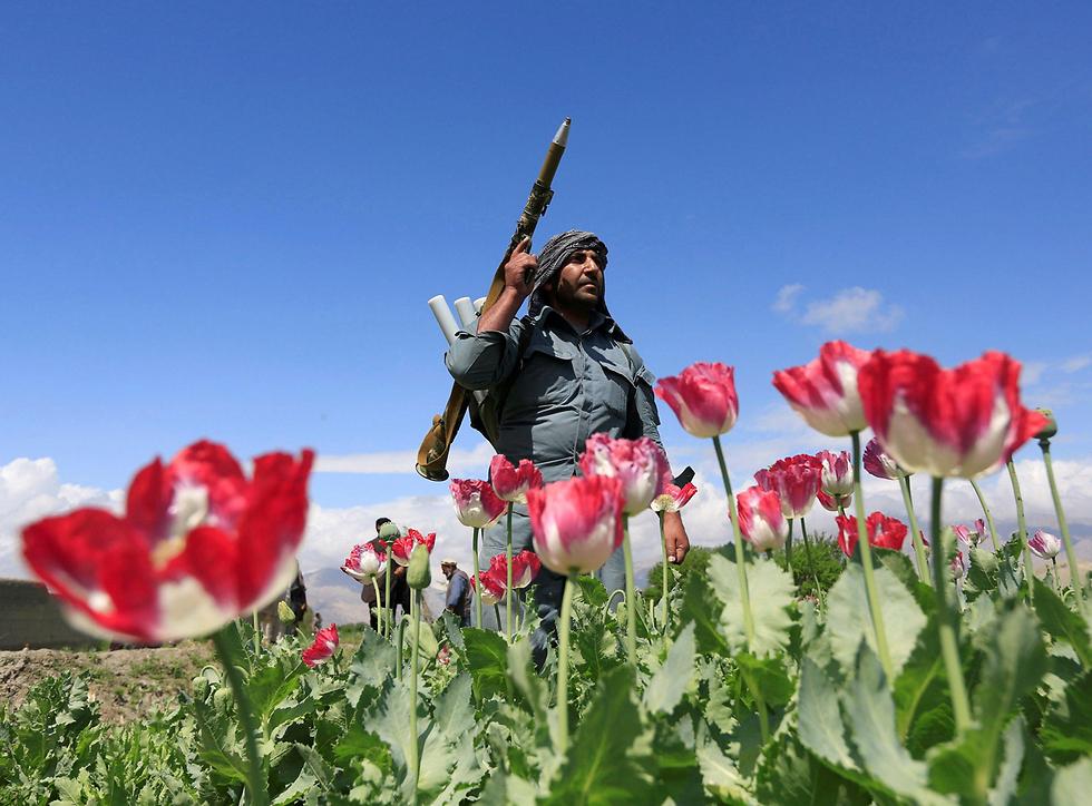 שוטר אפגני משמיד שדה פרג המשמש לייצור אופיום במחוז ג'אלאלבד כחלק מהמלחמה של הרשויות בסמים (צילום: רויטרס)