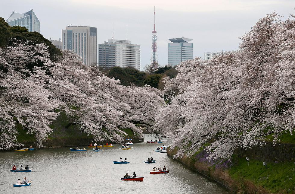 תושבים שטים בסירות בטוקיו על רקע פריחת עצי הדובדבן (צילום: EPA)