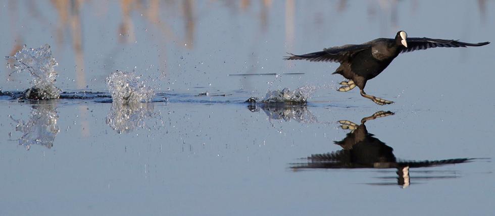 עוף המים אגמית מבצע ריקוד הזדווגות באגם ליד העיירה אוזרניל שבבלרוס (צילום: AP)