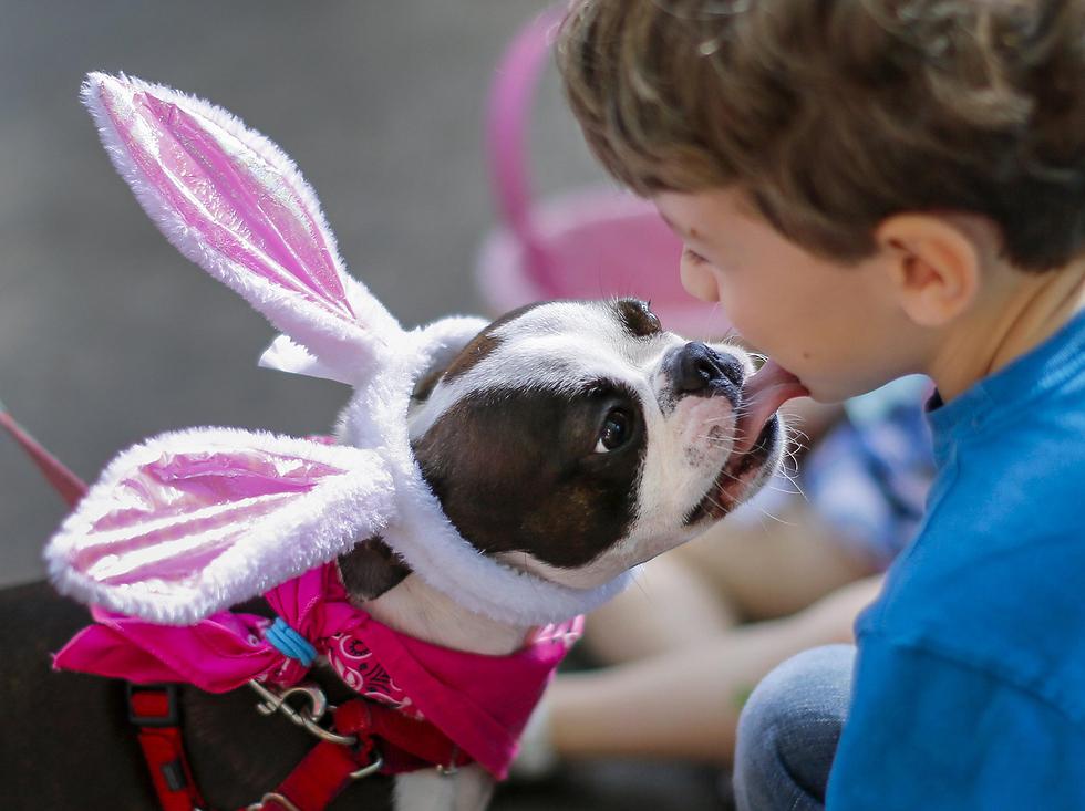 כלבת הבוסטון טרייר לולה מלקקת ילד במצעד חג הפסחא לכלבים בעיר אבונדייל אסטייט שבמדינת ג'ורג'יה (צילום: EPA)