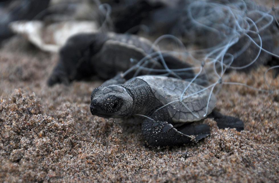 צבים לכודים ברשת דייגים בחוף רושיקולייה בהודו (צילום: AFP)