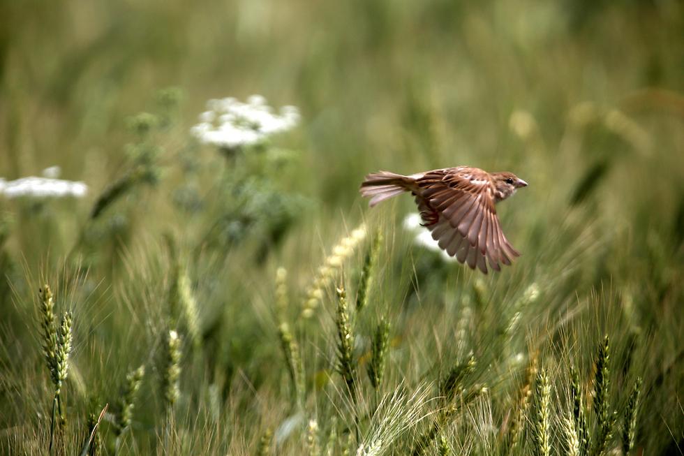 ציפור דרור מתעופפת לה בשכם (צילום: EPA)