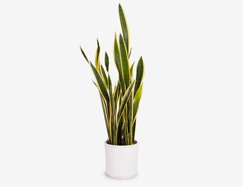 משחרר חמצן בלילה. צמח הנחש (צילום: Shutterstock)