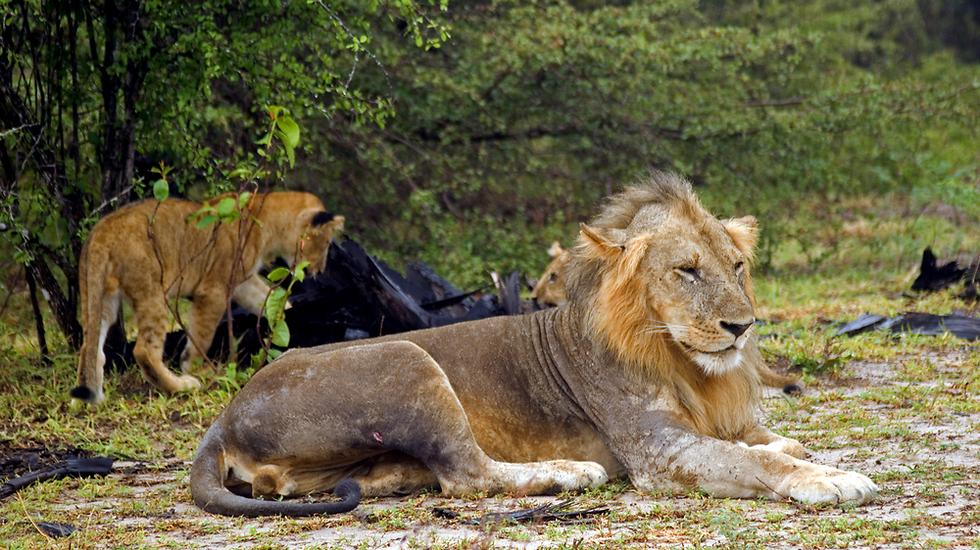 ספארי בשמורת הסאלו - טנזניה  (צילום: shutterstock)