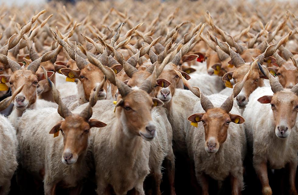 בעיר הורטובגי שבהונגריה חגגו עם המוני כבשים את תחילת עונת המרעה (צילום: רויטרס)