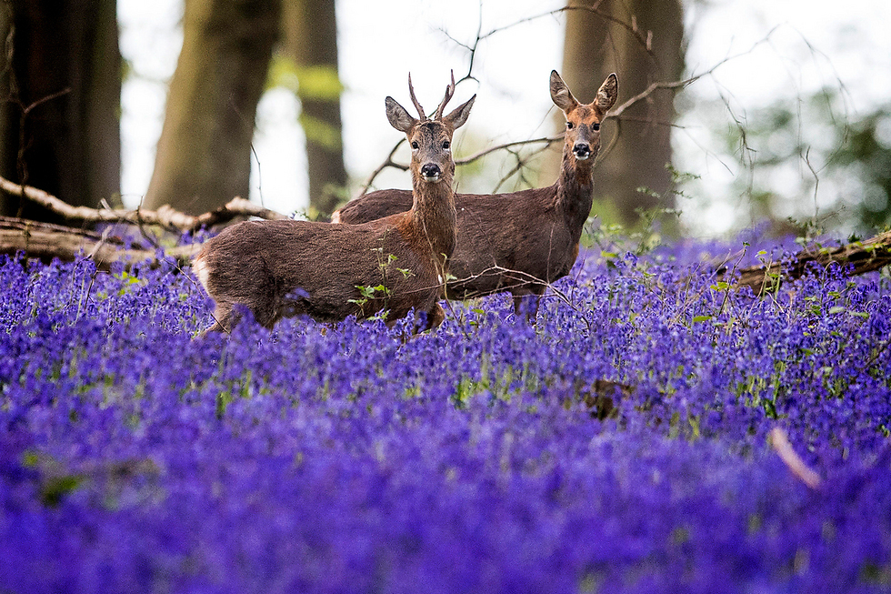 איילים ביער מישלדוור בדרום אנגליה (צילום: AP)