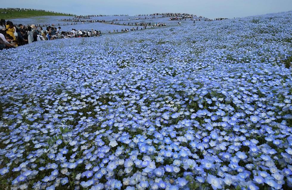 אנשים מטיילים בגבעה מכוסה פרחי נמופילה בעיר היטאצ'י-טנקה, יפן. עד סוף חודש מאי יכולים המבקרים במקום ליהנות מ-4.5 מיליון פרחים מסוג זה  (צילום: AFP)