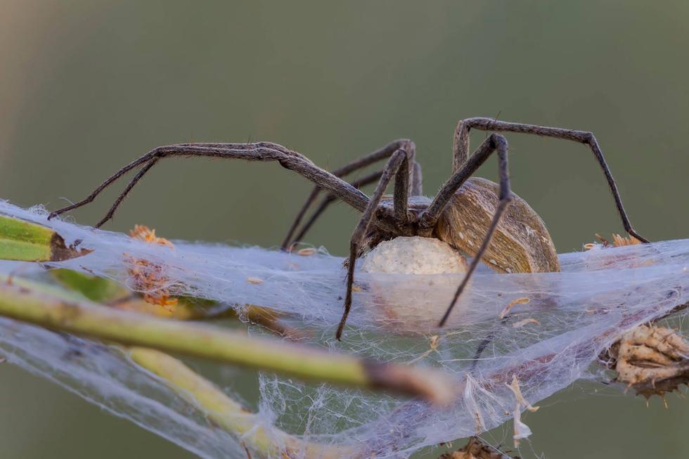 עכביש ענבלית נקבה וצאצאים במרכז | דני גדלביץ