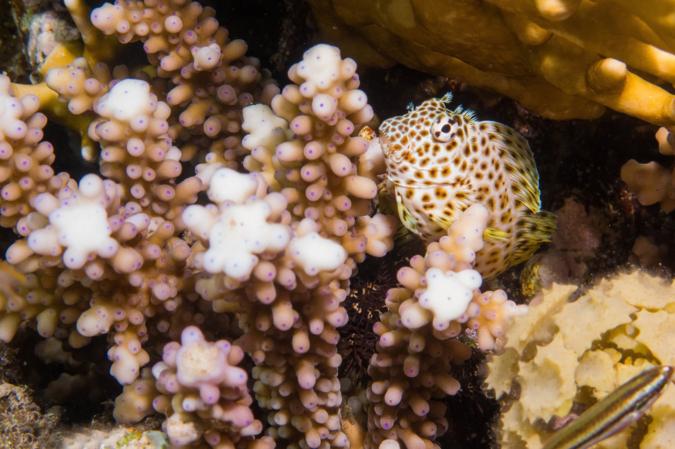 קישוטית האלמוגים במפרץ אילת | ערן גיסיס