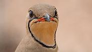 שדמית אדומת כנף (צילום: אלי לוין)