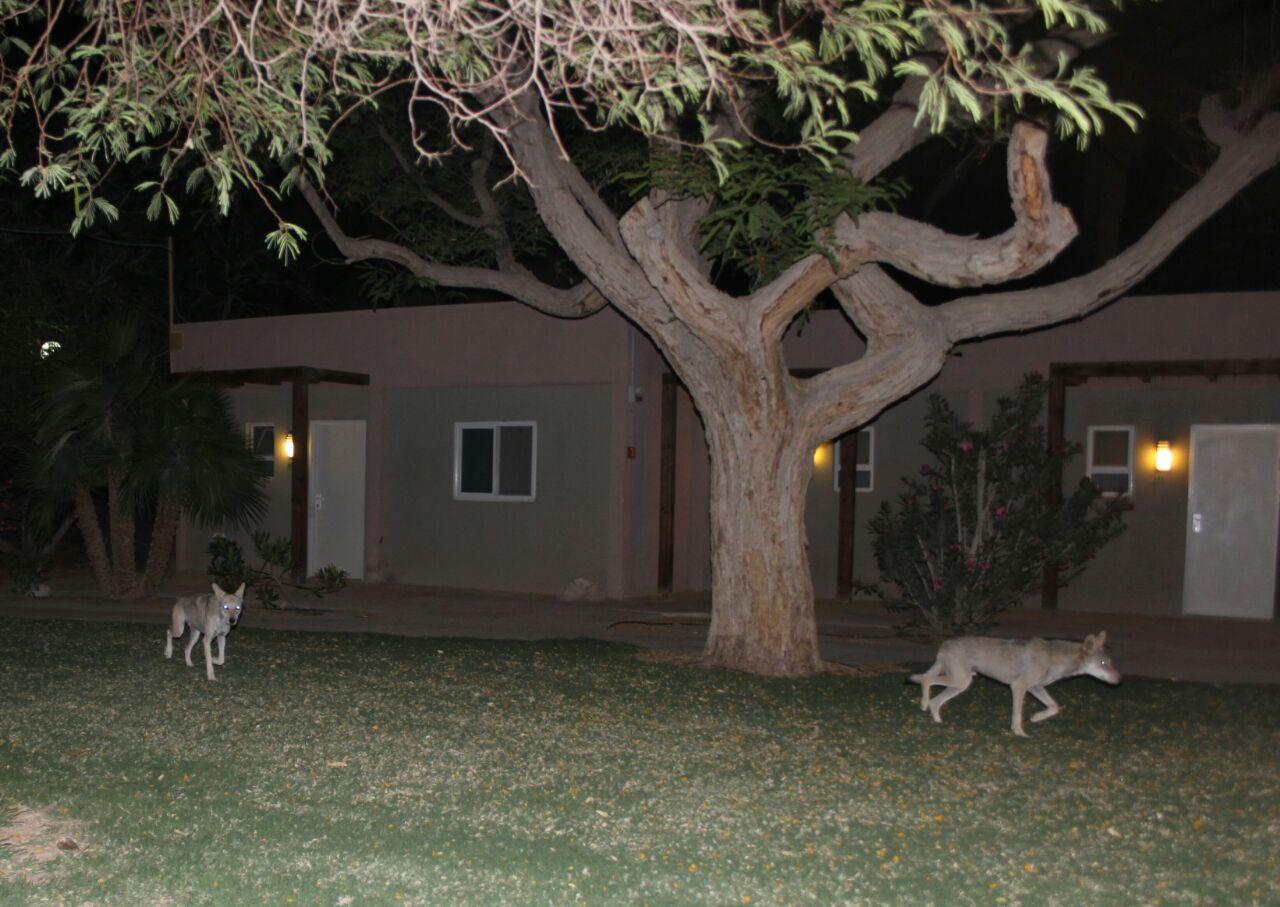 זאבים בעין גדי (צילום: אבישג אילון) (צילום: אבישג אילון)