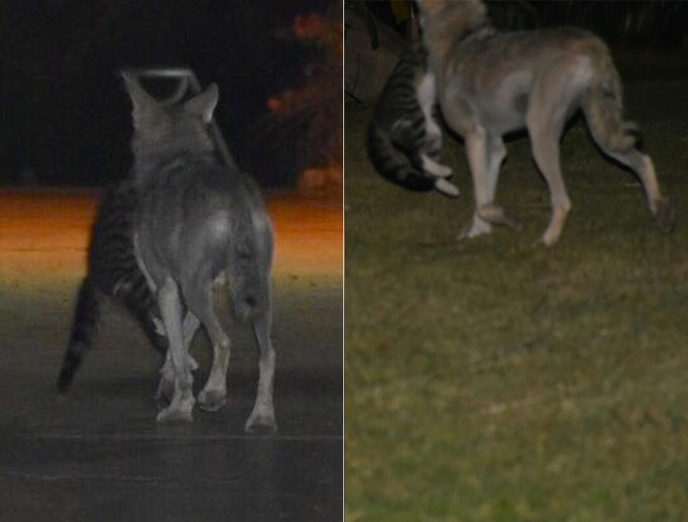 זאבים טורפים חתולים בקיבוץ עין גדי (צילום: גיל כספי)