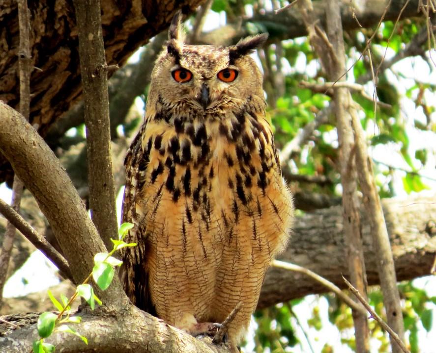 אוח עיטי בוגר על עץ שיזף. במשך היום האוח נוהג לנוח במקומות חשוכים, ולא להיות חשוף להתגודדות של עופות אחרים או מסונוור אל מול השמש. צילם: ליאב סימן טוב