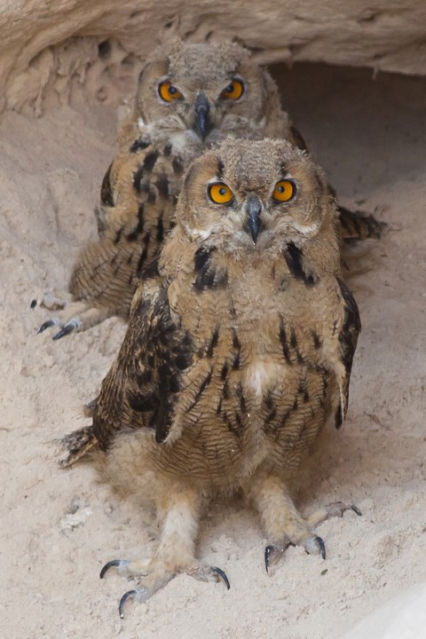 גוזלי אוח עיטי בנקודת אכילה מחוץ לקן. טפריהם במלוא חדותם וגודלם. צילם: משה כהן